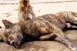 เศร้า! ปิดตำนานเพื่อนซี้ ลิงหมา เ้จ้าเสือ โดนวางยาตาย