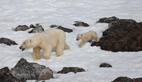 เมื่อลูกหมีขั้วโลกหิว!