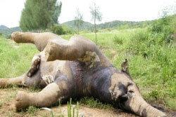สลด! ช้างหิวโซ ดอดมากินพืช โชคร้ายเจอสารพิษ ล้มอนาถ