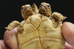ตะลึง! เต่าสองหัวกระดองเดียวตัวล่าสุด