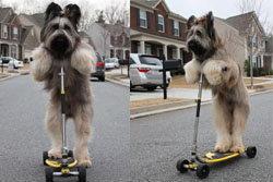 สุดเจ๋ง! หมาโชว์ขี่สกู๊ตเตอร์เหมือนคน