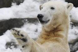 ภาพสุดท้าย คนุต หมีขั้วโลก ชักกะตุกก่อนตกน้ำ