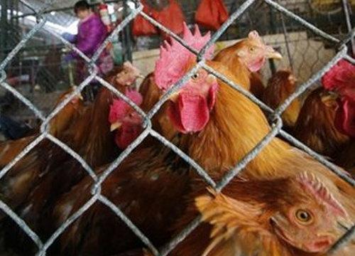 ฮ่องกงเชือดไก่2หมื่นตัวป้องกันH7N9รับตรุษจีน