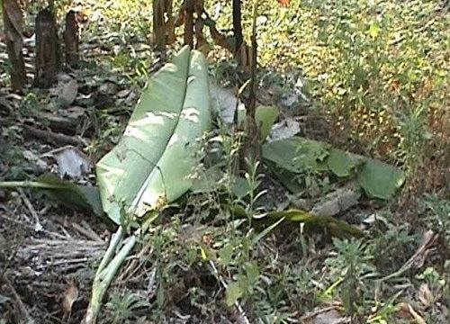 โขลงช้างป่าบุกกินผลไม้จันทบุรีเสียหาย20ไร่