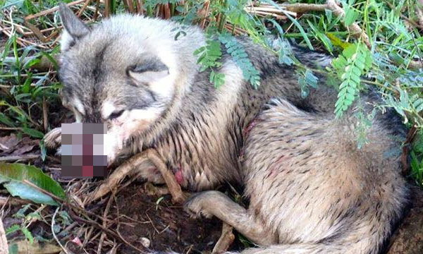 โซเชียลประณาม! ผู้ใหญ่บ้านจับหมาไซบีเรียนไปเชือดกิน