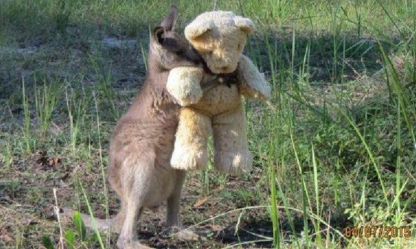 ภาพดัง..แชร์ทั่วโลก ลูกจิงโจ้กอดตุ๊กตาหมี หลังกำพร้าแม่