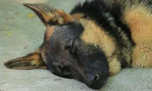 """ยกย่อง """"เรย์ด้า"""" สุนัขทหารตกเหวตายในหน้าที่ ช่วยทหารรอด"""