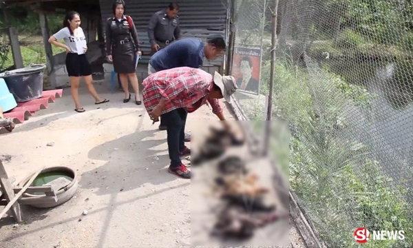 สุนัขรุมกัดไก่ชนสูญ 5 แสน เจ้าของไม่ยิงกลัวเจอจับ