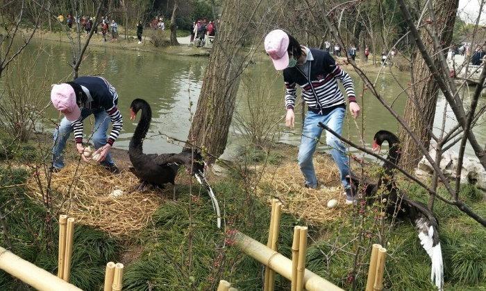 ชายใจโหด! ปีนรั้วเตะปีกหงส์ กระทืบไข่แตกกระจาย ริมทะเลสาบในจีน