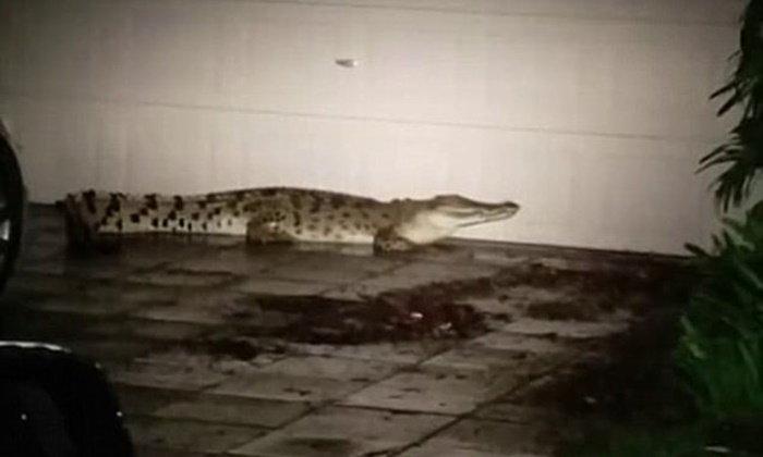 ชายแทบช็อก กลับบ้านดึกเจอจระเข้ยาว 3 ม. นอนรอหน้าประตูบ้าน