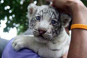 ลูกเสือขาวหายากป่วยติดเชื้อลาโลก
