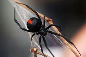 แมงมุมหลังแดงมีพิษของออสเตรเลียกำลังบุกญี่ปุ่น