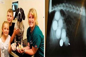 สุนัขจอมซน กินลูกกอล์ฟเต็มท้องจนเกือบตาย