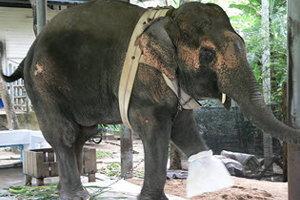 รพ.ช้างเตรียมสถานที่ทำขาเทียมให้พังโม่ตาลา