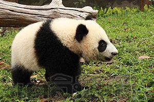 ผิดหวังชมครอบครัวแพนด้าเดินกำแพงเมืองจีน