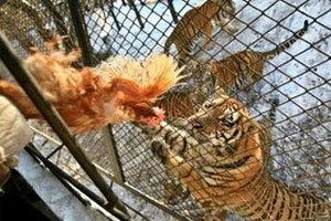 สวนสัตว์จีนทำให้เสือไซบีเรียขาดอาหารตาย 11 ตัว