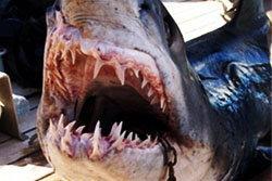 ฉลามบุก! จู่โจมนักท่องเที่ยวสยองคาทะเลอียิปต์