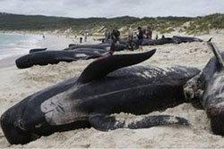 วาฬ 107 ตัว เกยตื้นตายที่ชายหาดนิวซีแลนด์