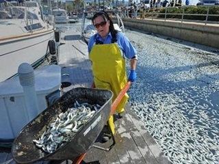 สหรัฐเสร็จสิ้นการเก็บซากปลาตายนับล้านตัวออกจากท่าเรือ
