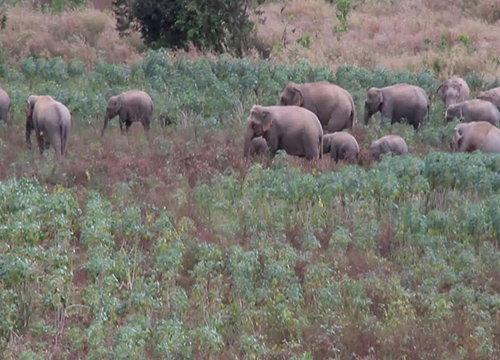 โขลงช้างบุกไร่มันชาวจันทบุรีเสียหาย10ไร่