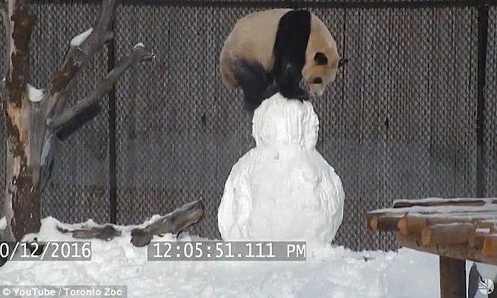 สนุกสนานชวนยิ้มตาม แพนด้ายักษ์ในสวนสัตว์โตรอนโตเล่นกับตุ๊กตาหิมะ