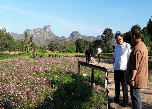 ผู้ว่าฯลพบุรีชมแปลงดอกคอสมอสรอรับนักท่องเที่ยว