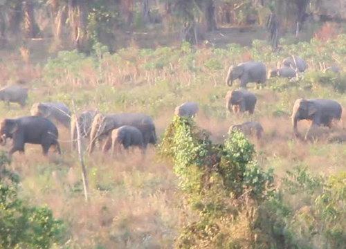 โขลงช้างป่ากว่า70ตัวบุกกินไร่มันชาวจันทบุรีรอบ2