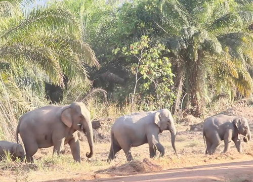 แล้งคุกคามแหล่งอาหารช้างจันทบุรีต้องรุกพื้นที่ชาวบ้าน