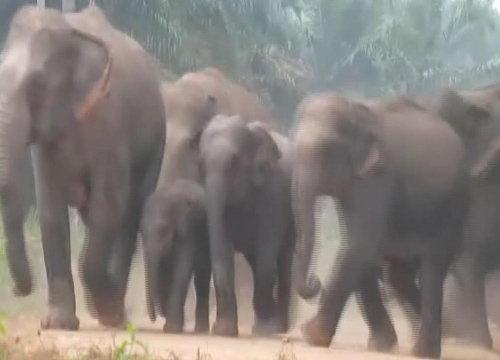 โขลงช้างป่าบุกสวนยาง-ถ.เข้าหมู่บ้านชาวจันทบุรี