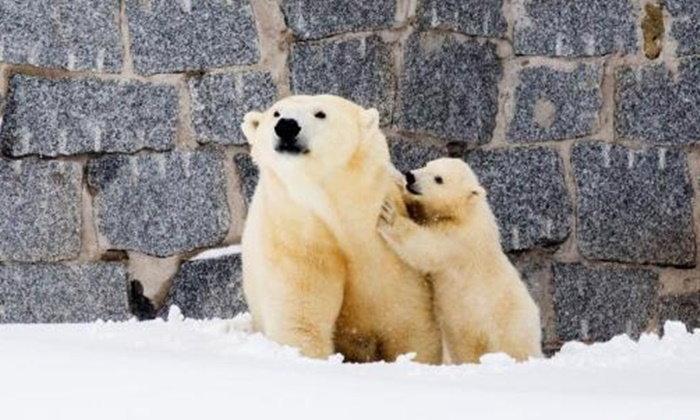 น่ารักอบอุ่น! แม่หมีขั้วโลกพาลูกหมีออกจากกรง สัมผัสหิมะครั้งแรก