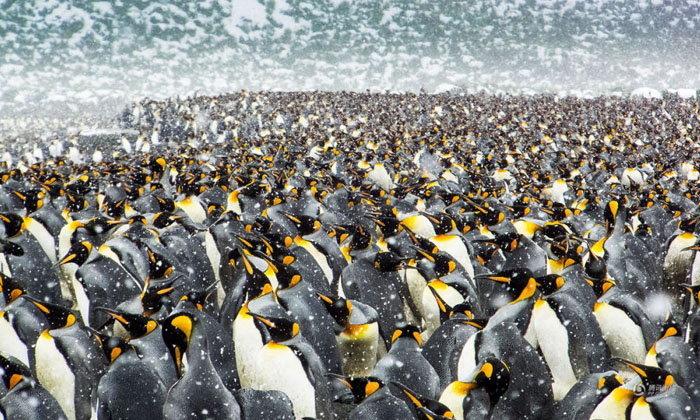 เยอะเว่อร์! เพนกวินจักรพรรดิรวมตัวแน่นขนัดกว่า 2.5 แสนตัว