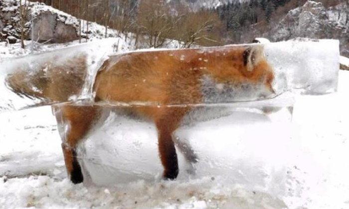 สลดใจ! จิ้งจอกตกน้ำหนาวตายกลายเป็นน้ำแข็ง