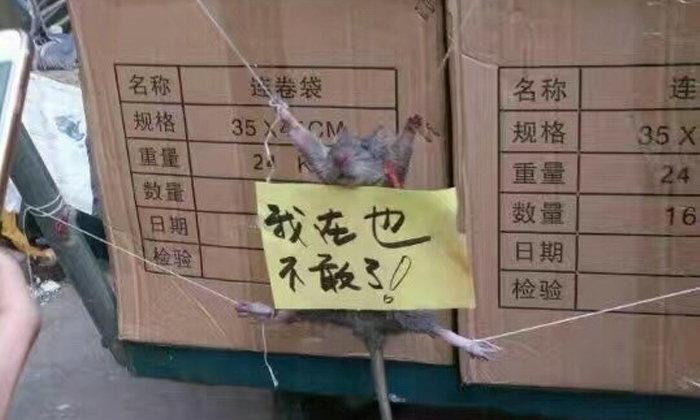 พ่อค้าจีนจับหนูห้อยป้ายสำนึกผิดขึงติดข้างลัง ลงโทษแอบแทะข้าวในร้าน