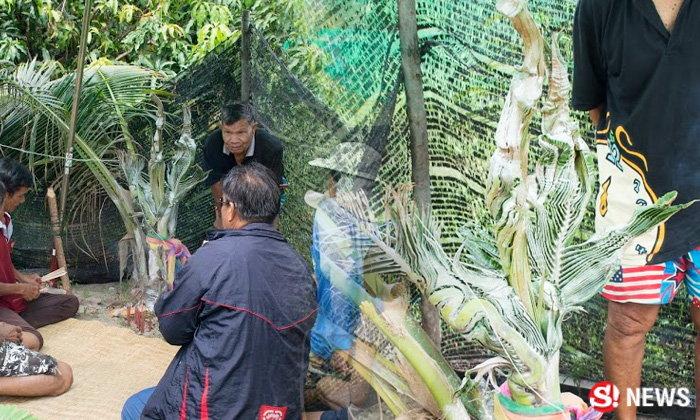 ต้นมะพร้าวแตกกิ่งคล้าย 3 หัวพญานาค งวดก่อนทำเฮงทั้งหมู่บ้าน
