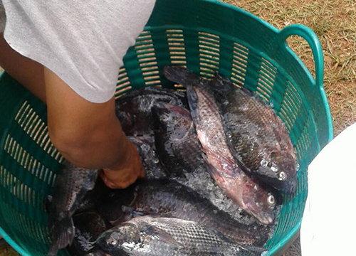 ชัยภูมิฝนตกหนักปลานิลน็อคน้ำตายกว่า2ตัน