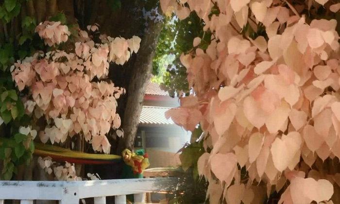 ชาวบ้านแห่ตีเลขเด็ด ต้นโพธิ์มีใบสีขาว-ชมพู