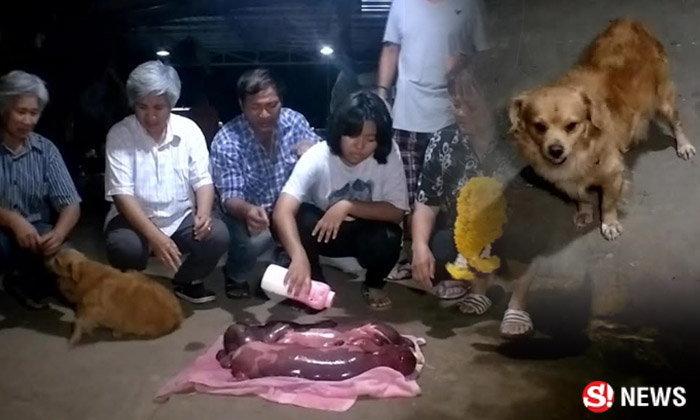 คนราชบุรีแห่ดูซากลูกวัวแฝด คลอดก่อนกำหนด มีหมาน้อยเฝ้าศพให้