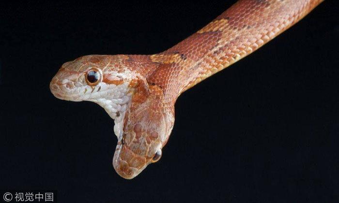 งูสองหัว! ความดุร้ายคูณสองที่อาจทำลายกันเอง