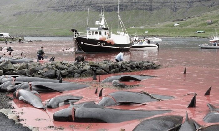 น้ำทะเลแดงฉาน เทศกาลล่าวาฬที่หมู่เกาะแฟโร ตายเป็นพัน