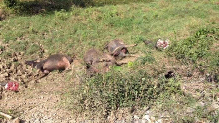 เจ้าของคอตก ชาวบ้านแห่แล่เนื้อควาย 21 ตัว ถูกรถไฟชนตาย