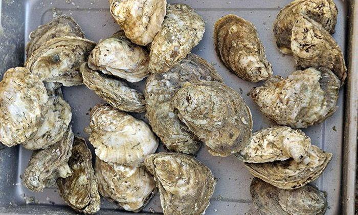 หญิงมะกันเสียชีวิต หลังกินหอยนางรมสด โดนแบคทีเรียกินเนื้อ
