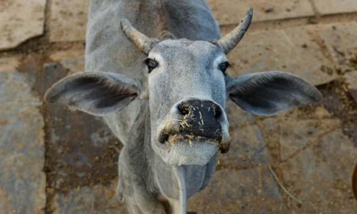 ไล่จับวุ่น! วัวเดินเล่นใกล้รันเวย์สนามบินอินเดีย ทำเที่ยวบินล่าช้าเพียบ