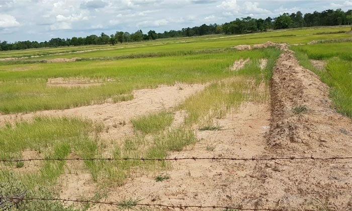 โคราชอ่วม ฝนทิ้งช่วงนับเดือน ข้าวยืนต้นตาย ชาวบ้านร้องนอภ.ลงพื้นที่ด่วน