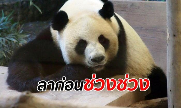 """แพนด้า """"ช่วงช่วง"""" ตายแล้ว จู่ๆ ก็ล้มลงสิ้นใจ สวนสัตว์เชียงใหม่เร่งชันสูตรหาสาเหตุ"""