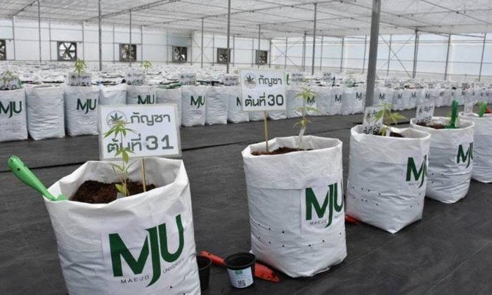 """""""อนุทิน"""" ปลูกกัญชาสายพันธุ์ไทย ชี้ต้นปีหน้าได้ดอกแห้ง 2 ตัน พร้อมสกัดยา"""