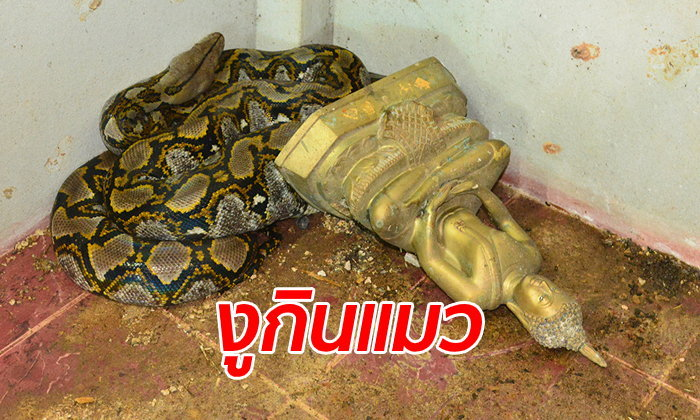 ตะลึง งูเหลือมยักษ์บุกเขมือบแมวที่สำนักสงฆ์ ก่อนซุกตัวนิ่งติดพระพุทธรูป
