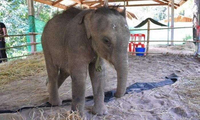 """ช้าง """"ชบาแก้ว"""" แข็งแรงดีวันดีคืน กรมอุทยานฯ มอบแนวทางการดูแล"""