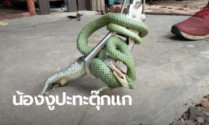 สาวกรี๊ดตลบ งูเขียวกอดรัดฟัดเหวี่ยง หวังเขมือบตุ๊กแก คอหวยแห่ส่องเลขห้อง