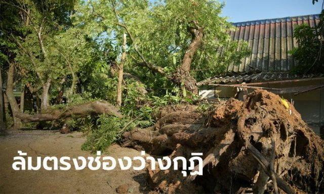 หวย ต้นมะขาม 300 ปี ล้มกลางวัด