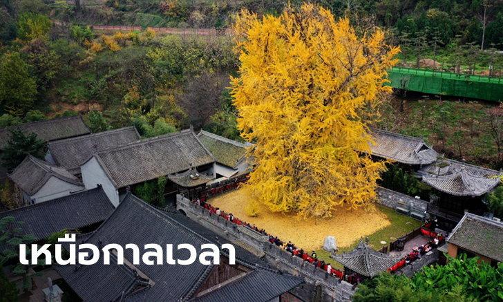 """""""ต้นแปะก๊วย"""" อายุกว่า 1,000 ปี เหลืองทองโดดเด่นกลางวัดเจ้าแม่กวนอิม"""